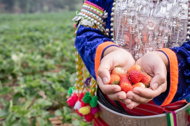 Tribal girls are collecting strawberries