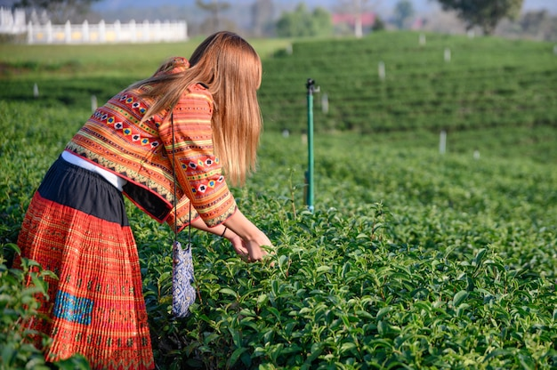 Tribal woman picking shoots tea in plantation on hill