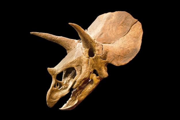 격리 된 흰색 배경 위에 트리케라톱스 화석 두개골
