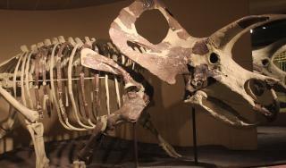 Скелет трицератопса