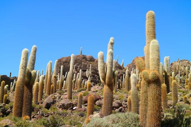 Trichocereus cactus on isla incahuasi or isla del pescado
