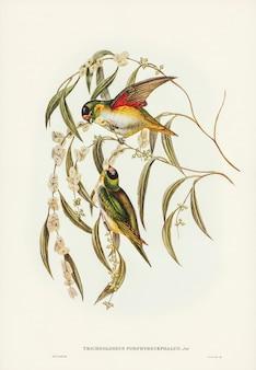 Коронованный порфирами лорикет (trichoglossus porphyrocephalus), иллюстрированный элизабет гулд