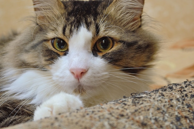 소파 팔에 삼색 고양이. 확대.