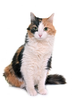 Tricolor cat in studio