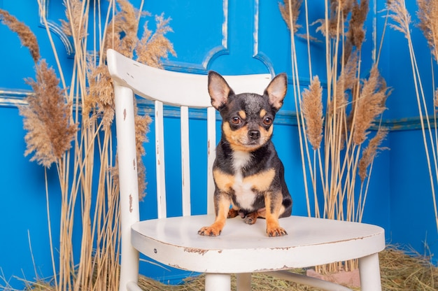 Tricolor chihuahua. chihuahua dog sits on a white chair. dog pet portrait