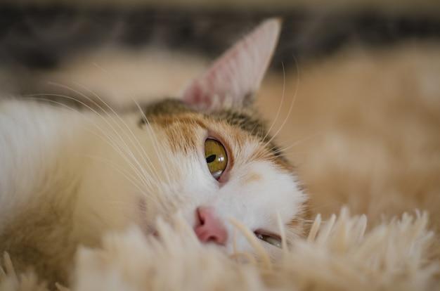 Tricolor domestic cat. lazy sleepy pet. close-up.