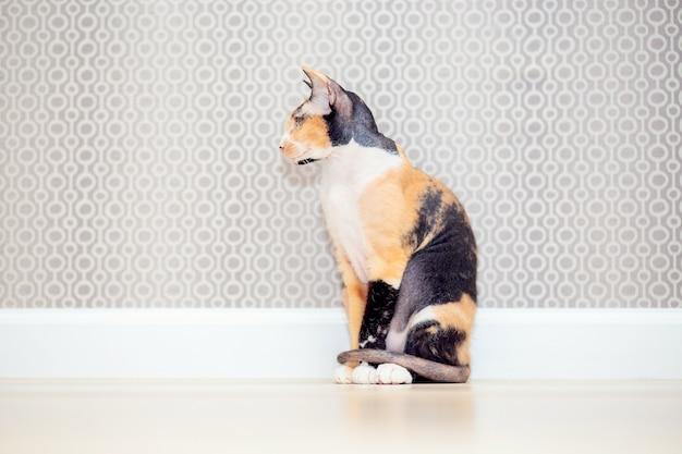 ウールのトリコロールドンスフィンクス猫。