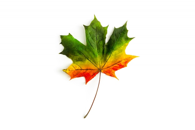 Tricolor maple leaf isolated