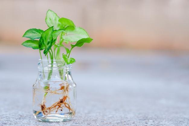 Tricolor nephthytis(syngonium podophyllum)는 작습니다. 신선한 녹색 잎을 가진 식물은 실내 장식용 공기 정화 식물로 투명 유리병으로 번성합니다.