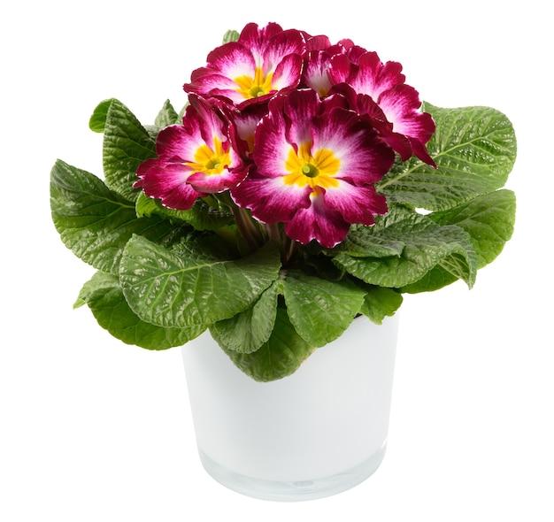 Примула трехцветная или примула с розеткой свежих зеленых листьев в цветочном горшке, изолированном на белом