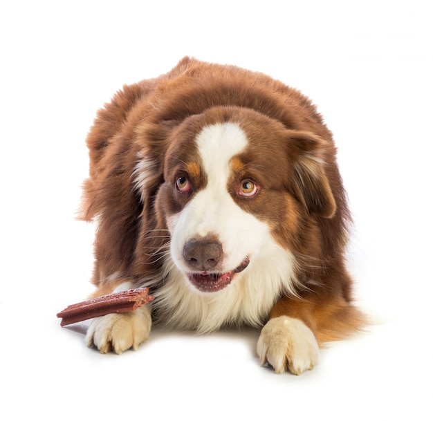 Tricolor red australian shepherd with stick to chew