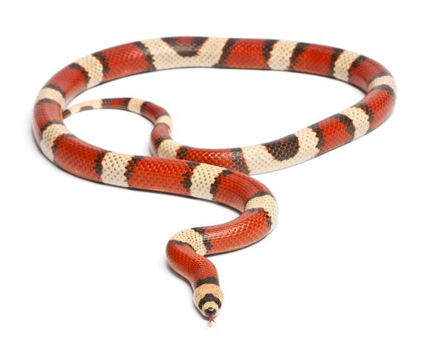 흰색 배경 앞의 삼색 사라지는 온두라스 우유 뱀, lampropeltis triangulum hondurensis