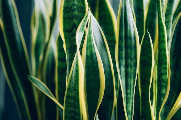 緑の多肉植物。ヘビ植物、サンセベリア属trifasciataの葉のマクロ。