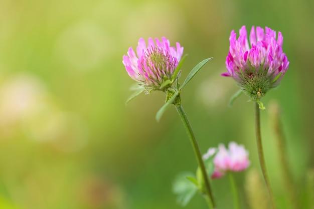 クローバー(trifolium)。緑のクローバー草原