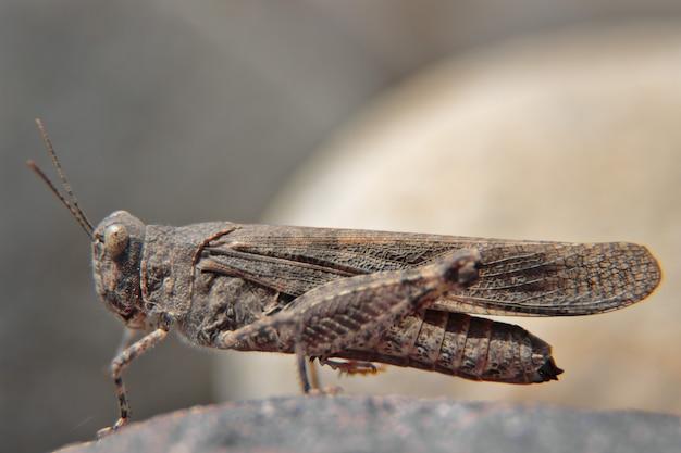 Trimerotropis ochraceipennis