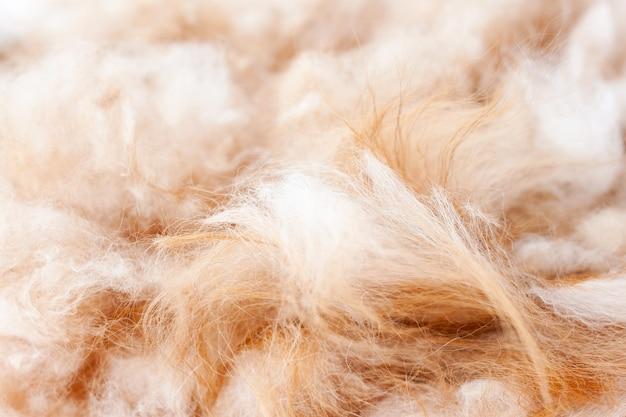 Trimmed hair of a pomeranian dog orange color close up.