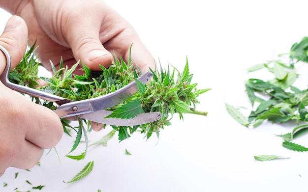 흰색 바탕에 가위로 녹색 대마초 싹을 다듬습니다.