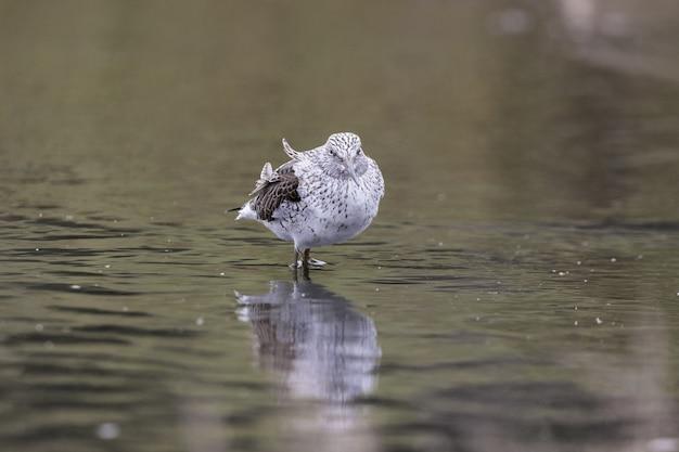Усталый весенний мигрант обыкновенный гриншанк tringa nebulari
