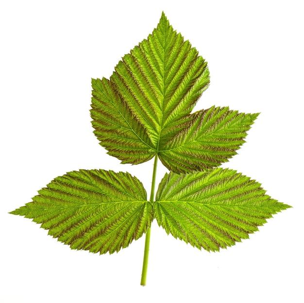 Тройной зеленый лист малины, изолированные на белом фоне крупным планом