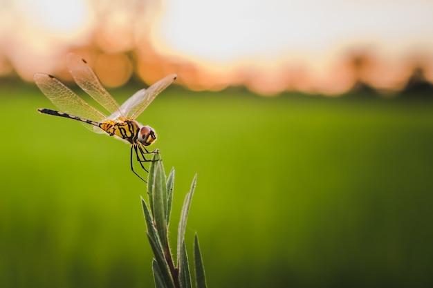Trithemis pallidinervis,the long-legged marsh glider dragonfly on grass