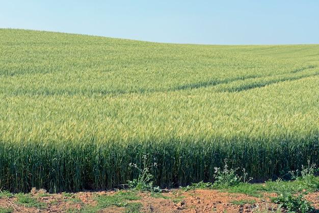 Triticale plantation, a new hybrid forage