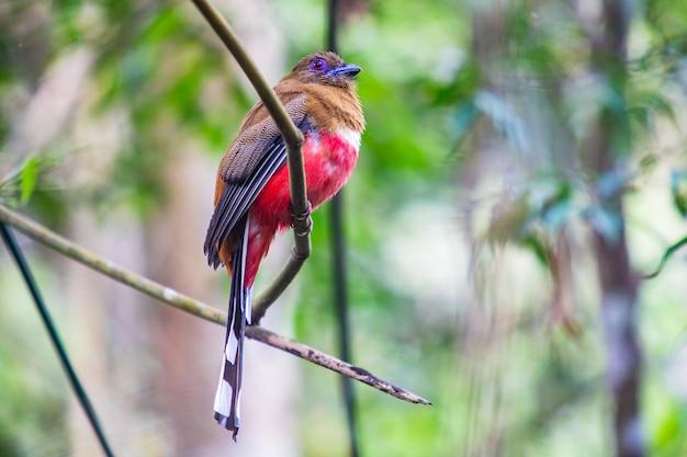 赤毛のtrogon(メス)タイの熱帯林のカラフルな鳥。