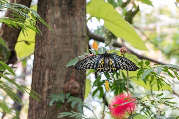 Бабочка troides aeacus на зеленых листьях в саду.