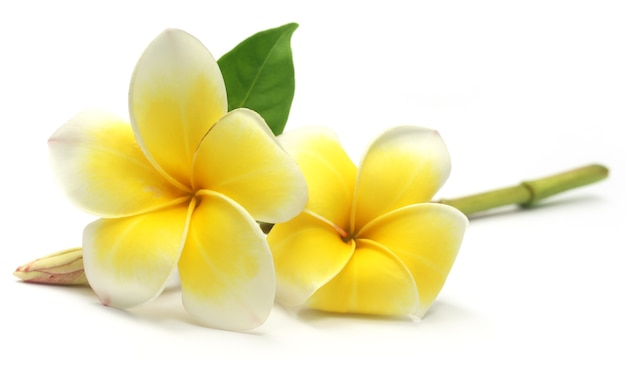 흰색 배경 위에 tropcal frangipani