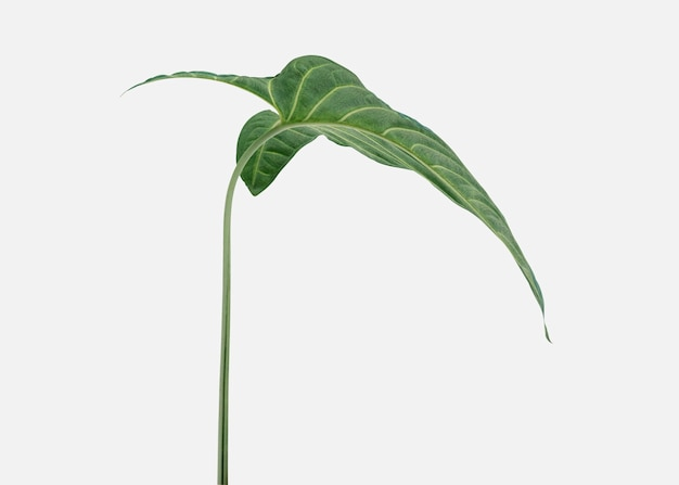 오프 흰색 배경에 열 대 alocasia 잎