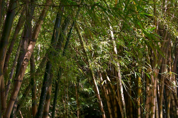 Tropical bamboo forest in daylight