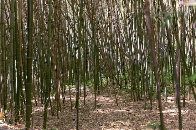 대 낮에 열 대 대나무 숲