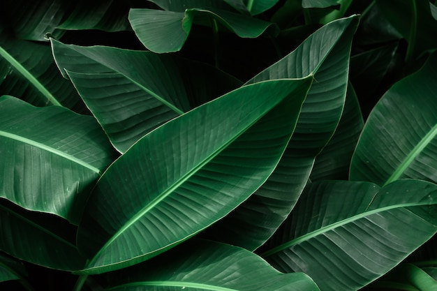 Tropical banana dark green leaves textured.
