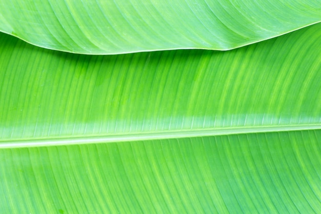Tropical banana leaf background, copy space