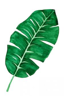 熱帯のバナナの葉は、白で隔離されます。手作りの水彩画。