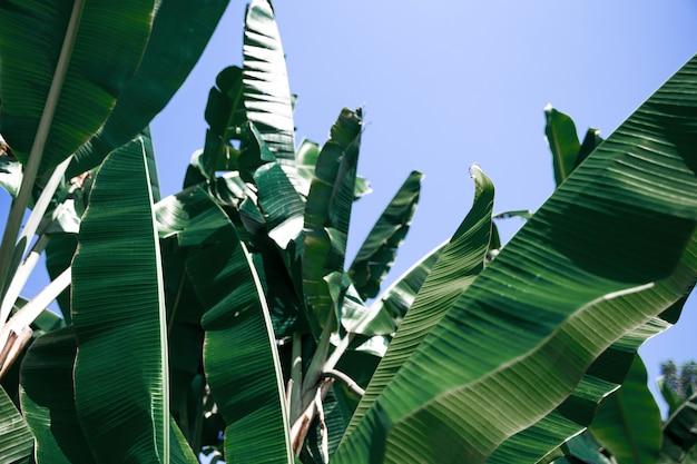 熱帯のバナナの葉、大きな葉の自然