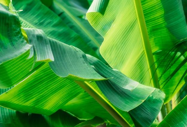 Текстура тропических банановых листьев, большая пальмовая листва, природа ярко-зеленый фон