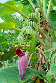 Tropical banana tree with its fruits and inflorescence in thailand countryside