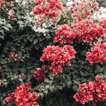 Tropical beautiful deep red flowers blooming on big lush