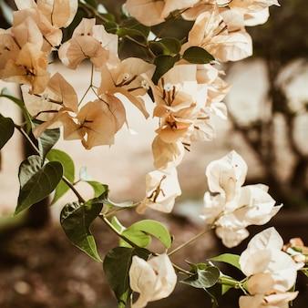 Tropical beautiful pale beige flowers blooming on branch