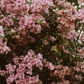 Tropical beautiful pale pink flowers blooming on big lush.