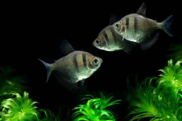 Тропическая юбка черная тетра рыбка