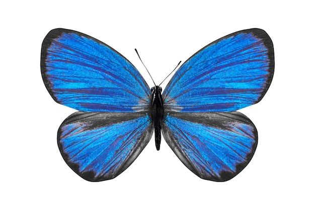 열대 블루 나비 epimastidia. 흰색 배경에 고립