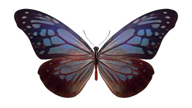 Тропическая голубая бабочка. изолированные на белом фоне