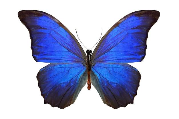 Тропическая синяя бабочка, изолированная на белом
