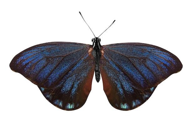 열 대 블루 나비 흰색 절연