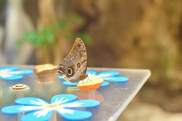 Тропическая синяя бабочка морфо на столе крупным планом, бабочка ест апельсин