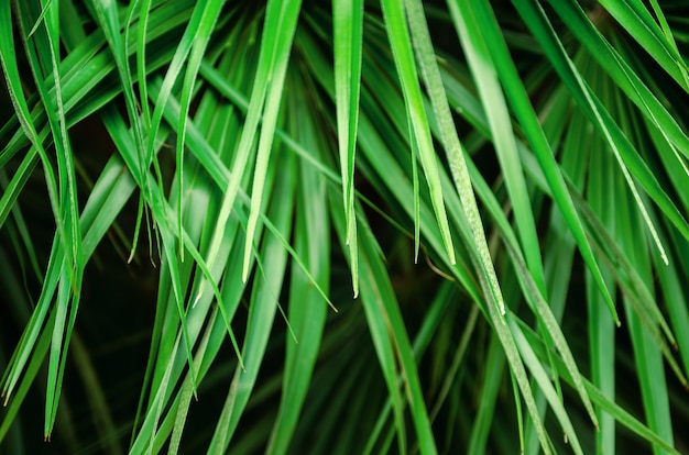 Tropical bright fresh green palm leaves. background, poster.