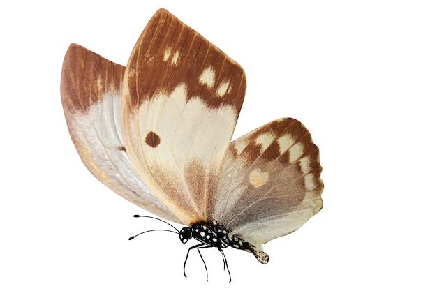 白で隔離される熱帯茶色の蝶
