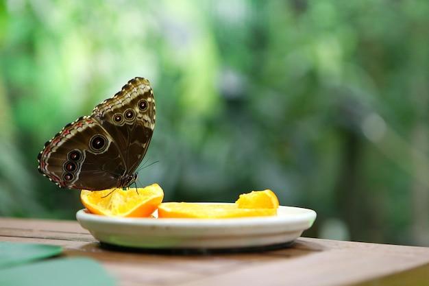 Тропическая бабочка caligo atreus ест на дольке апельсина у тарелки. кормление насекомых. существа дикой природы