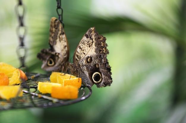 Тропическая бабочка caligo atreus ест на дольке апельсина. кормление насекомых. существа дикой природы